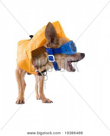tiny chihuahua with a raincoat and goggles