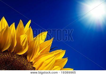 Sunflower leaves under hot sun