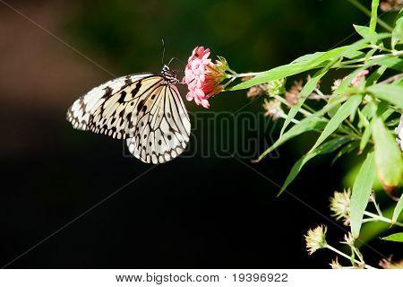 Butterfly Cross Section