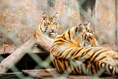 Постер, плакат: Young Tigers In Cage