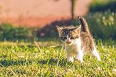 Tomcat With White And Tabby Fur Walks On Grass poster