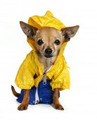 tiny chihuahua dressed up in a raincoat