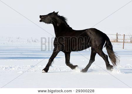 Black Horse Run Gallop In Winter