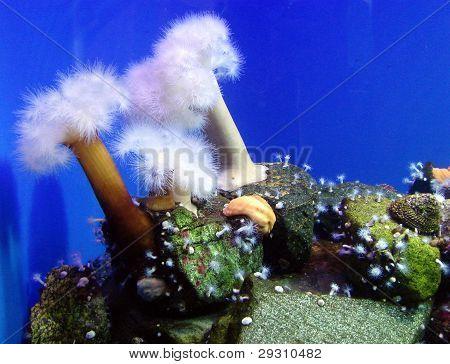Sea anemones in aquarium