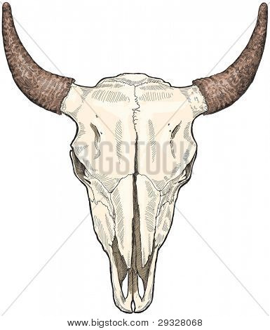 cow ckull - sketch. Bitmap copy my vector