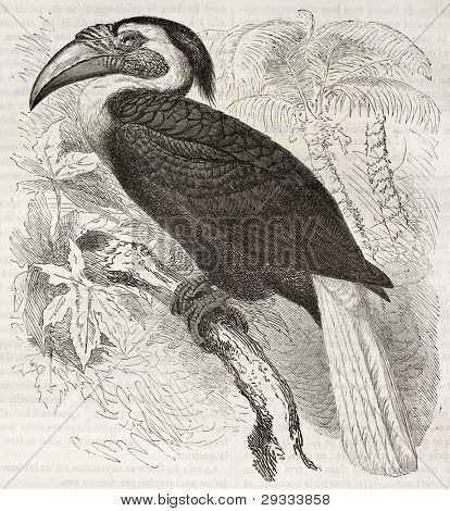 Blyth's Hornbill old illustration (Rhyticerus plicatus). Created by Kretschmer and Illner, published on Merveilles de la Nature, Bailliere et fils, Paris, ca. 1878