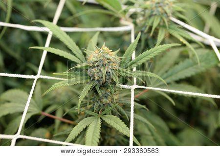 Marijuana Extreme Close Up Macro