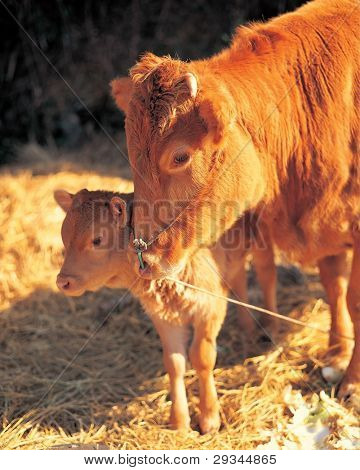 Brown cows, mother and kid on a farm