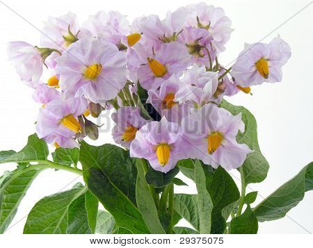 lila flowers of potato plant in blossom