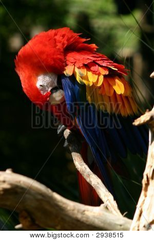 Red Parrott Perching