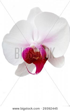 isolated white orchid.