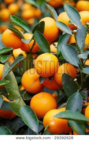 Ripe oranges are hanging under the trees
