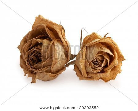 yellow dead rose