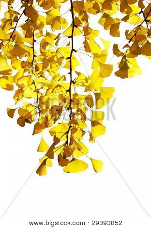 golden leaves of maidenhair tree