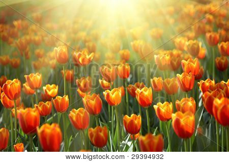 flowerbed with colorful tulips under bright sunshine