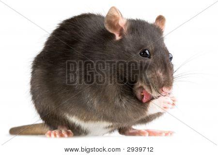 Lavado de la rata
