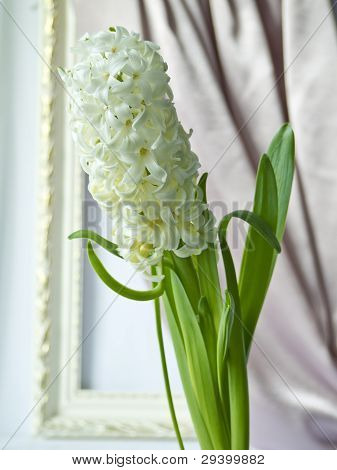 White hyacinth against a portiere and a frame