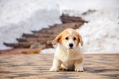 Puppy Of Funny Red Welsh Corgi Pembroke Walk Outdoor, Run, Having Fun In White Snow Park, Winter For poster