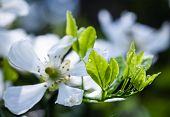 Water Drops. White Flowers Of The Trifoliate Orange, Poncirus Trifoliata Or Citrus Trifoliata Is Als poster