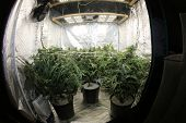 Marijuana. Growing Marijuana and Cannabis. Marijuana Grow Tent. Cannabis farm indoors. Shot through  poster