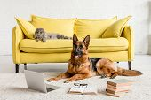 Cute German Shepherd Lying On Floor With Laptop And Books In And Grey Cat Lying On Couch poster