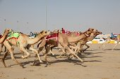 stock photo of qatar  - Racing camels with a robot jockeys Doha Qatar - JPG