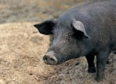 stock photo of mud pack  - young pig living outdoor - JPG
