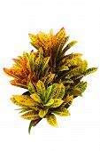 pic of crotons  - Croton plants with colorful leaves on white - JPG