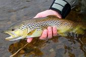 stock photo of brook trout  - A colorful Brown Trout - JPG