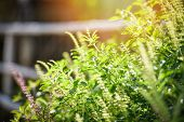 Holy Basil Leaf / Asia Red Basil Tree And Flower Nature Vegetable Garden Background - Ocimum Sanctum poster