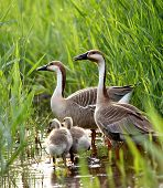 image of mother goose  - duck family - JPG