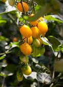 foto of tomato plant  - cherry tomatoes - JPG