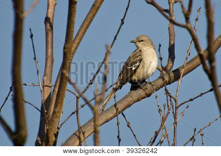 Northern Mockingbird Perched On A Branch In A Tree