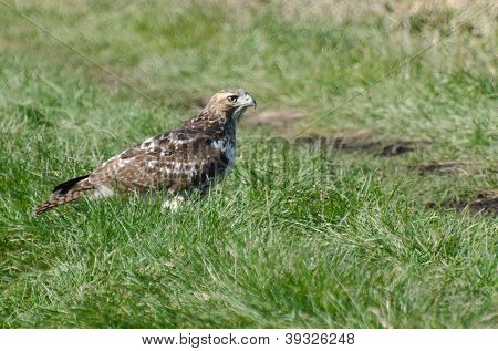 Red-tailed Hawk Resting On The Grass