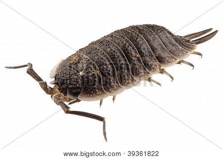 Woodlouse especies Porcellio Scaber