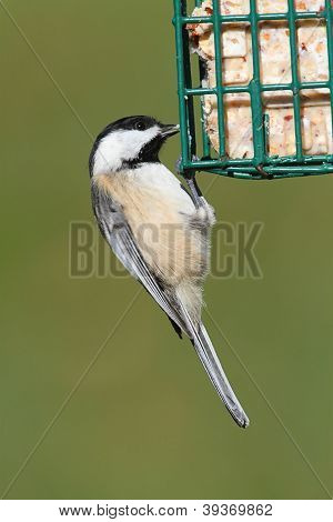 Chickadee On A Feeder
