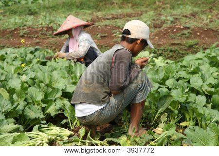 Vegetable Field Workers