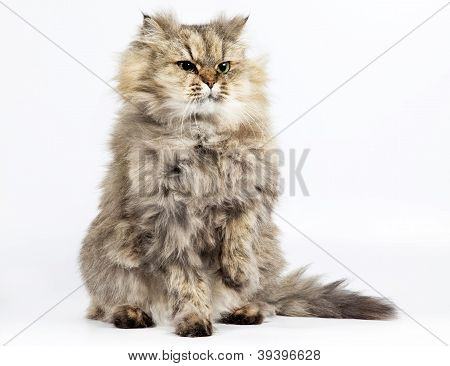 Persian Cat Golden Chinchilla With One Paw Raised