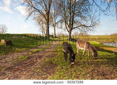 Two grazing donkeys