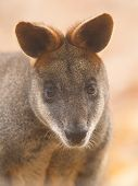 foto of tammar wallaby  - Close - JPG