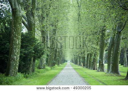 Alley Of Sycamore Trees