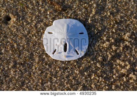 Cape Cod Sand Dollar