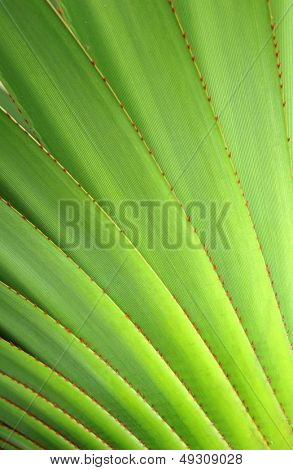 The pattern of agave leaves with prick