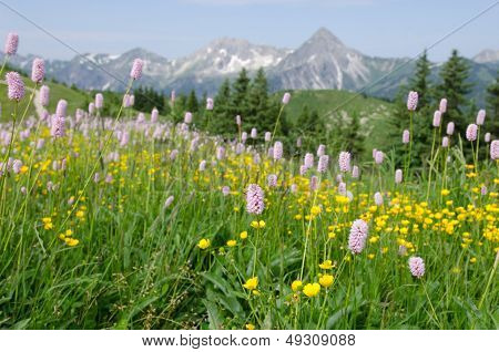 Mountain Meadow With Grass, Flowers And Blossoms