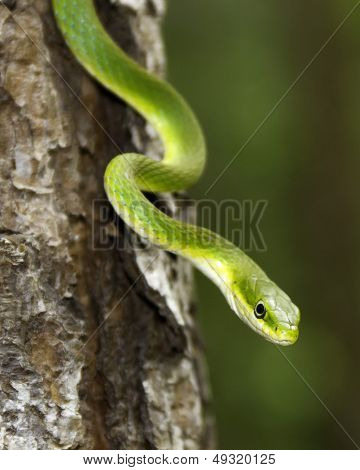 Rough green snake in tree