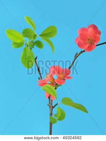 red flowering quince isolated on blue background
