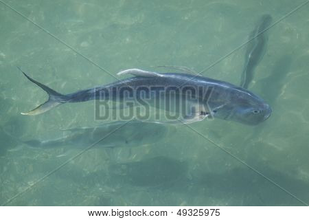A fish swimming in the waters of a marina on the Intracoastal Waterway in Florida.