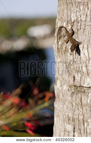 A Male Brown Anole (Anolis sagrei) lizard clings to the trunk of a palm tree.