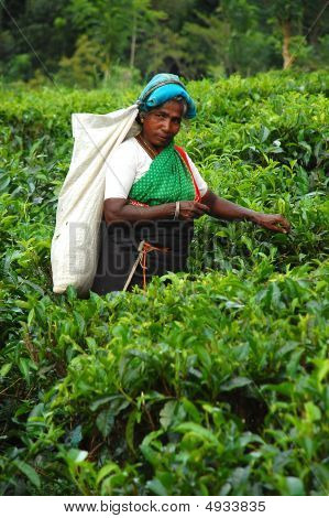 The Tea Plucker At The Plantation In Sri Lanka