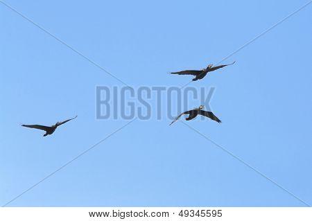 cormorants (phalacrocorax pygmeus) flying int he sky